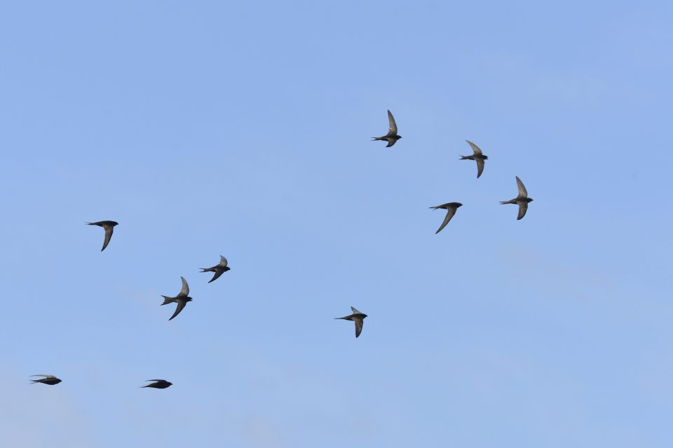 Photo of swifts in flight