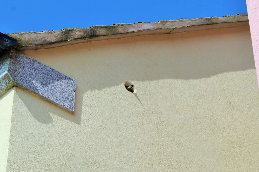 A house sparrow occupies a bird box in Nansledan, the Duchy of Cornwall's development of new homes and businesses in Newquay.